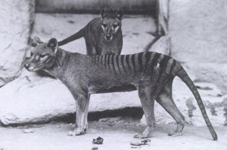 Thylacine cynocephalus 01