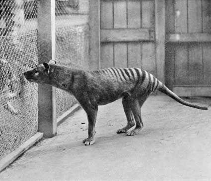 Thylacine cynocephalus 02