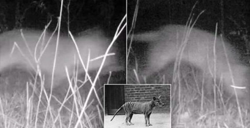 Thylacine cynocephalus 03